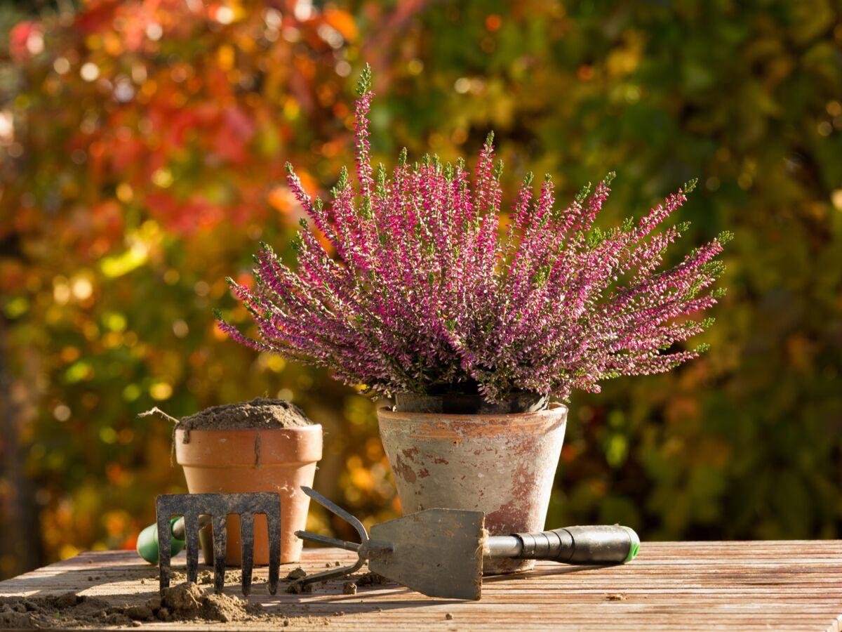 Créer de belles plantes de bruyère dans son jardin